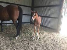 ASH/QH mare & foal packages Toowoomba 4350 Toowoomba City Preview