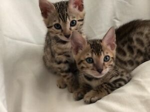 Brown spotted Bengal kittens