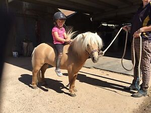 Stunning Pally mini stallion 4 yrs old Broadford Mitchell Area Preview