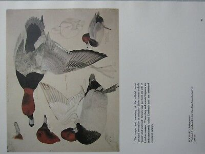 BEAUTIFUL TUNNICLIFFE BIRD PRINT ~ POCHARD DUCK MALE