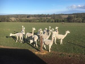 Alpacas Mount Barker Plantagenet Area Preview