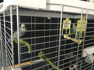 Two budgies plus cage for free