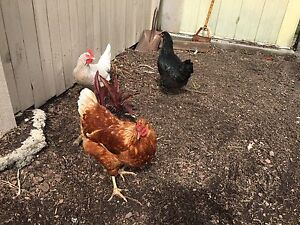 3 chickens for sale Carina Brisbane South East Preview