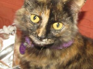 Beautiful cat free to a very good home Mona Vale Pittwater Area Preview