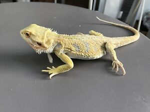 Super yellow bearded dragon for sell