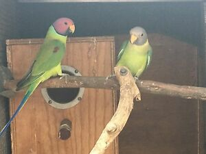 Mature pair of Plumhead Parrots Geebung Brisbane North East Preview
