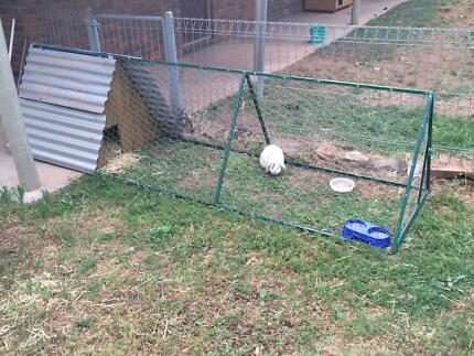 lop eared rabbit Burra Goyder Area Preview