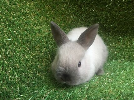 Small & Friendly Netherland X babies for sale Seacliff Holdfast Bay Preview