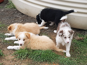 border collies puppies Bell Park Geelong City Preview