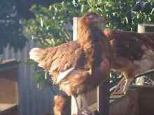 Isa Brown and Hybrid White Leghorn Pullets chickens egg layers Morphett Vale Morphett Vale Area Preview