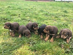 Kelpie Puppies x 5