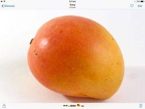 Mango tree Kensington pride tropical fruit Perth cheap Darch Wanneroo Area Preview