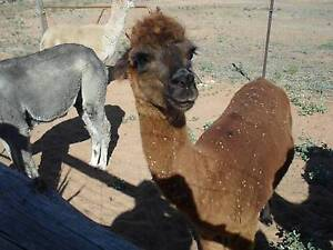 Alpacas - various ages and colours  ONLY TWO LEFT Wild Horse Plains Mallala Area Preview