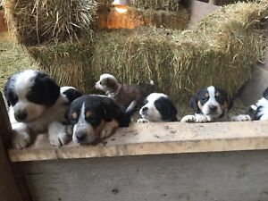 Bernese Mountain Dog Cross Pups