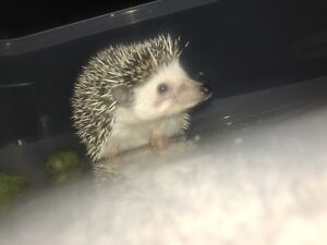 Hedgehog and cage