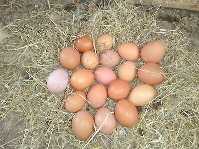 Barn Yard Mix Fertile Chicken Eggs Chicken Shipping Included