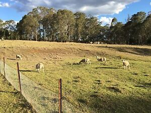 Lambs for sale Horsley Park Fairfield Area Preview