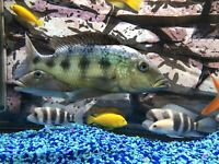 Rostratus Cichlid x2 (8-10 inch) for rehoming/trade