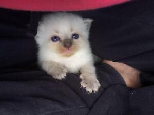 Rag doll kittens Maitland Maitland Area Preview