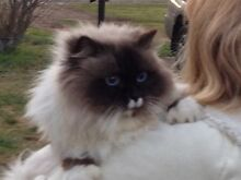 Beautiful Ragdoll desexed male needs new home. Deliver to Sydney Coolah Warrumbungle Area Preview