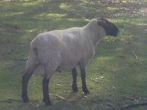 Rams for sale Macclesfield Mount Barker Area Preview