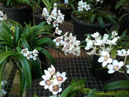 Sarcochilus orchids in flower