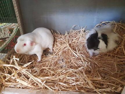 Guinea pigs for sale 2 boys to go together, 1 female