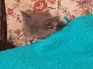 Beautiful kittens Ready to be Rehomed Glendale Lake Macquarie Area Preview