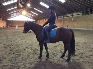 4 year Connemara x  welsh gelding