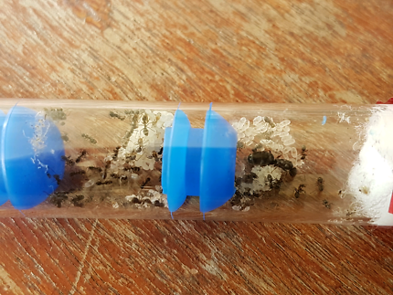 Ant queen (Black ant colony)