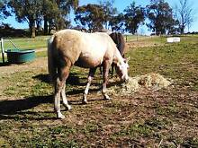 Quarter Horse Colt Dale Beverley Area Preview