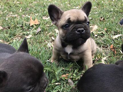 Purebred French bulldog puppies. Brindle and fawn