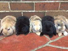 Mini Lop Rabbits: PH 0 Blacktown Blacktown Area Preview