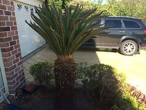 Large Cycads Bonogin Gold Coast South Preview