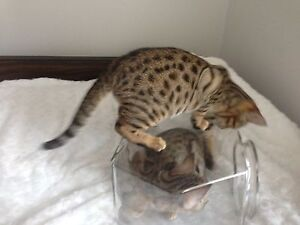 Savannah Cubs (Kittens) for sale! Peterborough Peterborough Area image 4