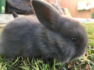Mini Lop bunnie Clayton South Kingston Area Preview