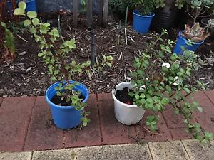 Jade Money plant *Strong & healthy* CNY gifts! Waterford South Perth Area Preview