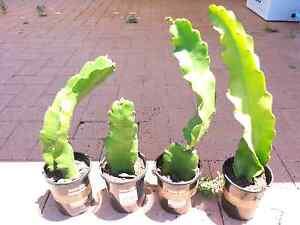 Dragon Fruit Plants (White Flesh) Clarkson Wanneroo Area Preview