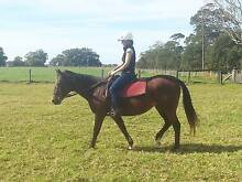 Stock Horse cross Thoroughbred  Mare with Saddle, bridle and rugs Kinchela Kempsey Area Preview