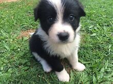 Border Collie x Samoyed puppies Tewantin Noosa Area Preview