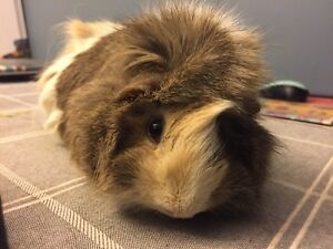 Looking For: Female Guinea Pig!