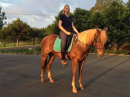 Super quiet 14 year old,14.3/15hh Quarter Horse/Stock Horse mare Montville Maroochydore Area Preview