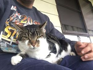 Missing Female Cat (peddy) Wadalba Wyong Area Preview