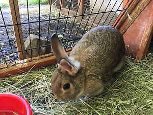Adult dwarf rabbits for sale Sunbury Hume Area Preview