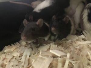 Frozen feeder rats