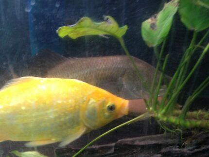 Barramundi for sale with free fish Allambie Heights Manly Area Preview
