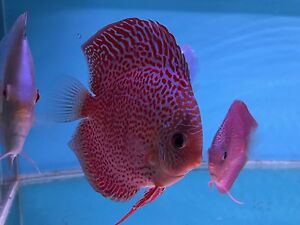 Forest FEBRUARY discus shipment has arrived- on SALE NOW Como South Perth Area Preview