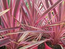 Cordyline Electric Pink cheap grower direct perth shrub Darch Wanneroo Area Preview