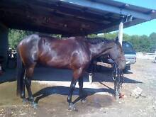 Dead quiet 16hh rising 4 yo gelding for sale Turvey Park Wagga Wagga City Preview