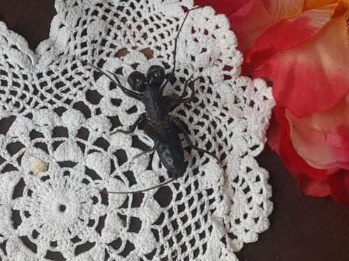 LIVE LARGE Real Vinegaroon Whiptail Scorpion Feeder or Educational Specimen